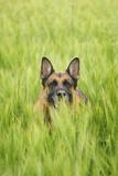 Domestic Dog, German Shepherd Dog, adult, standing in unripe Barley (Hordeum vulgare) crop Photographic Print by Bjorn Ullhagen