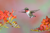 Ruby-throated Hummingbird (Archilochus colubris) adult male, in flight Photographic Print by S & D & K Maslowski