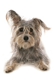 Domestic Dog, Terrier cross mongrel, adult, laying Photographic Print by Chris Brignell