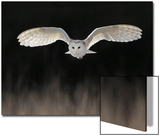 Barn Owl (Tyto alba) adult, in flight, hunting over meadow, Leicestershire Art by Martin Withers