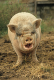 Domestic Pig, Pot-bellied sow, standing on straw, with mouth open Photographic Print by Sarah Rowland