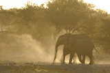 African Elephant (Loxodonta africana) two immatures, kicking up dust in dry riverbed, Etosha Photographic Print by Shem Compion