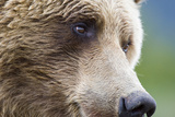 Grizzly Bear (Ursus arctos horribilis) adult, close-up of face, Katmai , Alaska Photographic Print by David Tipling