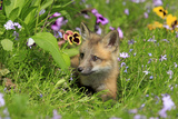American Red Fox (Vulpes vulpes fulva) ten-weeks old cub, resting amongst flowers in meadow Photographic Print by Jurgen & Christine Sohns