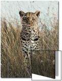 African Leopard (Panthera pardus pardus) adult female, stalking in long grass, Masai Mara, Kenya Kunst av Elliott Neep