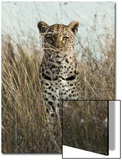 African Leopard (Panthera pardus pardus) adult female, stalking in long grass, Masai Mara, Kenya Kunstdrucke von Elliott Neep