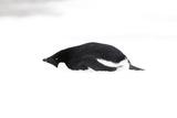 Adelie Penguin (Pygoscelis adeliae) adult, resting on snow, Antarctic Peninsula, Antarctica Photographic Print by Martin Hale