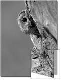 Tawny Owl (Strix aluco) adult, peering out from tree hollow, Suffolk, England Láminas por Paul Sawer