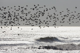 Sanderling (Calidris alba) flock, in flight, silhouetted over sea, New York Photographic Print by Mike Lane