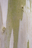 Urn Gum (Eucalyptus urnigera) bark, close-up of trunk, in botanical garden, july Photographic Print by Krystyna Szulecka