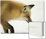 American Red Fox (Vulpes vulpes fulva) adult, close up head, in snow, Yellowstone Poster von Paul Hobson