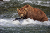 Grizzly Bear (Ursus arctos horribilis) adult, fishing for migrating salmon, Brooks River, Katmai Photographic Print by Jurgen & Christine Sohns