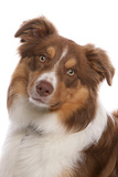 Domestic Dog, Border Collie, liver tricolour adult, close-up of head Photographic Print by Chris Brignell