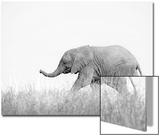 Shem Compion - African Elephant (Loxodonta africana) young, walking through dry grass, Tuli Block Plakát