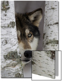 Grey Wolf (Canis lupus) adult, close-up of head, looking out from between birch trees, Minnesota Poster av Paul Sawer