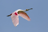 Roseate Spoonbill (Ajaia ajaja) adult, in flight, High Island, Bolivar Peninsula Photographic Print by Bill Coster