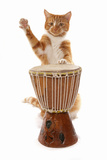 Domestic Cat, ginger and white tabby, adult, playing drum Fotoprint van Chris Brignell