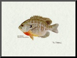 Bluegill Fish Mounted Print by Ron Pittard