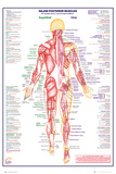 Human Body Major Posterior Muscles - Poster