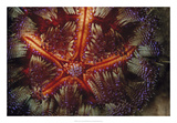 Star Power - Indonesia Giclee Print by Beverly Factor