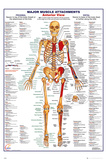 Human Body Muscle Attachments Anterior Posters