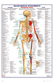 Human Body Muscle Attachments Posterior Print