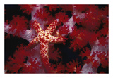Red Star - Nusa Kode, Indonesia Giclee Print by Beverly Factor