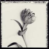 Tulipano Bontanica IV Giclee Print by Bill Philip