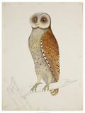 Bay Owl, 1824 Prints by J. Briois