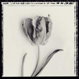 Tulipano Bontanica V Giclee Print by Bill Philip