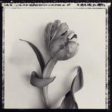 Tulipano Bontanica I Giclee Print by Bill Philip
