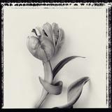 Tulipano Bontanica VI Giclee Print by Bill Philip