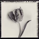Tulipano Bontanica III Giclee Print by Bill Philip