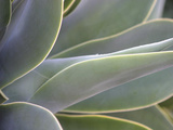 Agave IV Limited Edition on Canvas by Joy Doherty