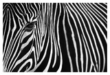 Zebra in Lisbon Zoo Posters by Andy Mumford