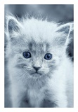 Blue Kitty Posters by Tracie Louise