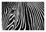 Zebra in Lisbon Zoo Kunst af Andy Mumford