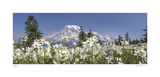 Avalanche Lilies Mount Ranier Giclee Print by Donald Paulson