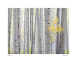 Aspen Trees I Giclee Print by Donald Paulson