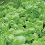 Basil Limited Edition on Canvas by Stacy Bass