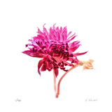 Bright Dahlia Limited Edition by Kate Blacklock