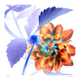 Budding Dahlia Limited Edition by Kate Blacklock