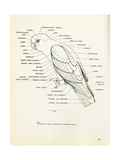 Descriptive Parts of a Parrot no. 22 - Poster