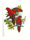 Red and Blue Lory no. 53 - Poster