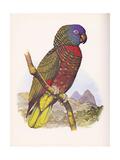 St. Lucia Amazon no. 556 - Reprodüksiyon