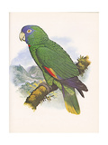 Red Necked Amazon no. 557 - Poster
