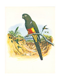 Patagonian Conure no. 429 - Poster