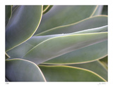 Agave IV Limited Edition by Joy Doherty