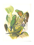 Dusky, Olive and Aztec Conures no. 400 Poster