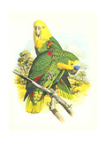 Blue Fronted Amazon no. 545 - Poster